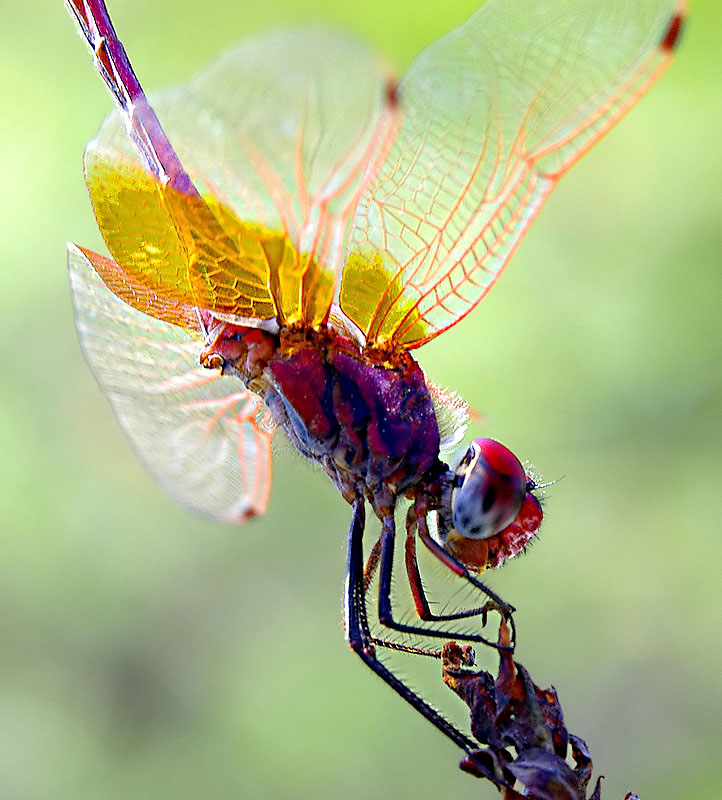 Dragon Fly also